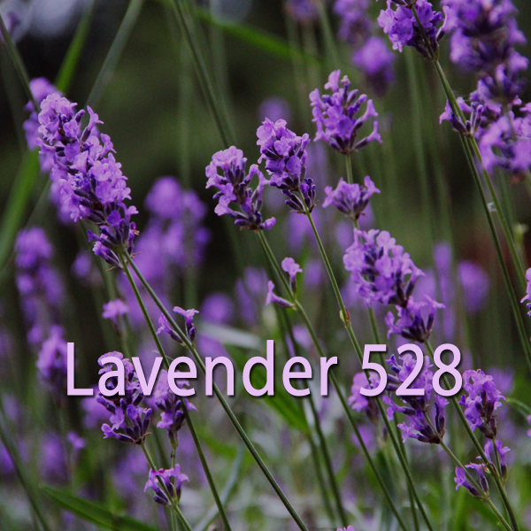 meditating with lavender essential oil